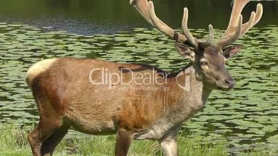 Red deer - Rothirsch