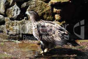 Steppe eagle (Aquila rapax)