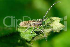 Distelbock - Thistle Bock - Agapanthia villosoviridescens