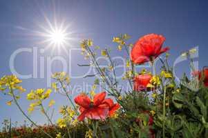 Mohnblume mit Sonnenstrahlen