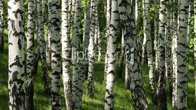 spring birchwood