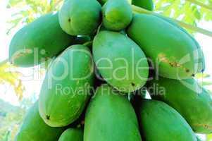 Fresh green papaya fruits on the branch
