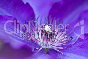 Blaue Clematis