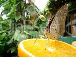 Schmetterling - Waldbrettspiel auf einer halben Orange