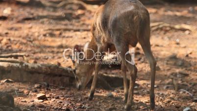 wild sambar deer