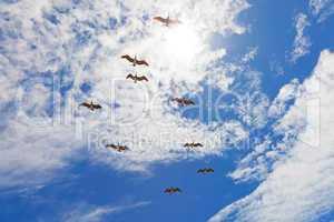 Nine pelicans flying in blue cloudy sky