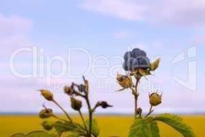 Bluish blackberries berries