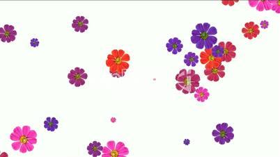 falling purple daisy flower and wildflower,wedding background.