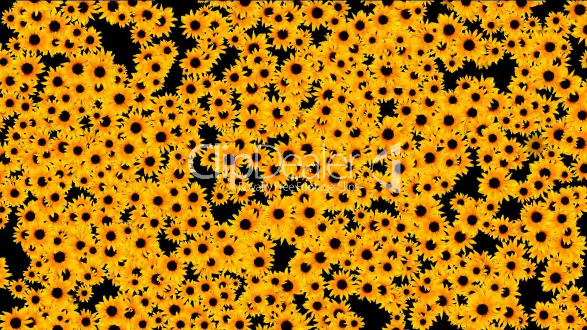 Sunflower As Wedding Backgrounddisco Neon Flower Pattern Royalty Free Video And Stock Footage