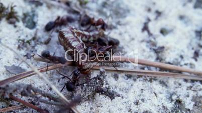 Ants and caterpillar