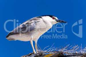 Adult Black-crowned Night Heron, Nycticorax nycticorax isolated
