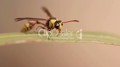 Yellow wasp on a green leaves