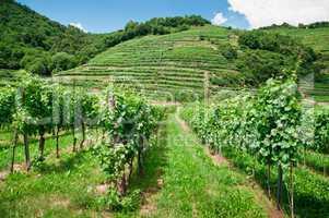 Vinery in Austria