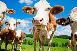 Simmental Cows
