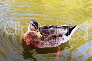 Wild duck in the water.