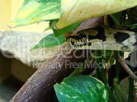 Würgeschlange