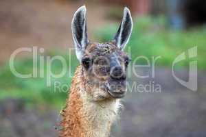 Alpaka Tier Detailaufnahme. Alpaca animal detail images. Vicugna pacos.