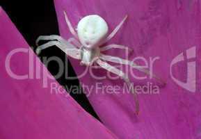 White spider on petal