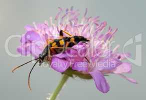 Longhorn beetle on a flower.