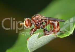 Fly Sicus ferrugineus