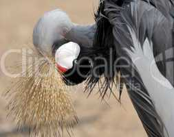 Crowned Crane cleaning feathers.