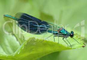 Dragonfly Calopteryx splendens
