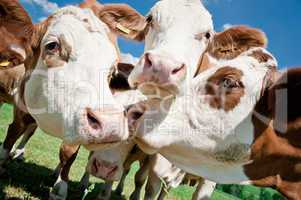 Cow Faces