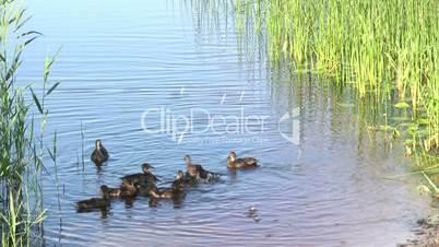 Feeding of duck family