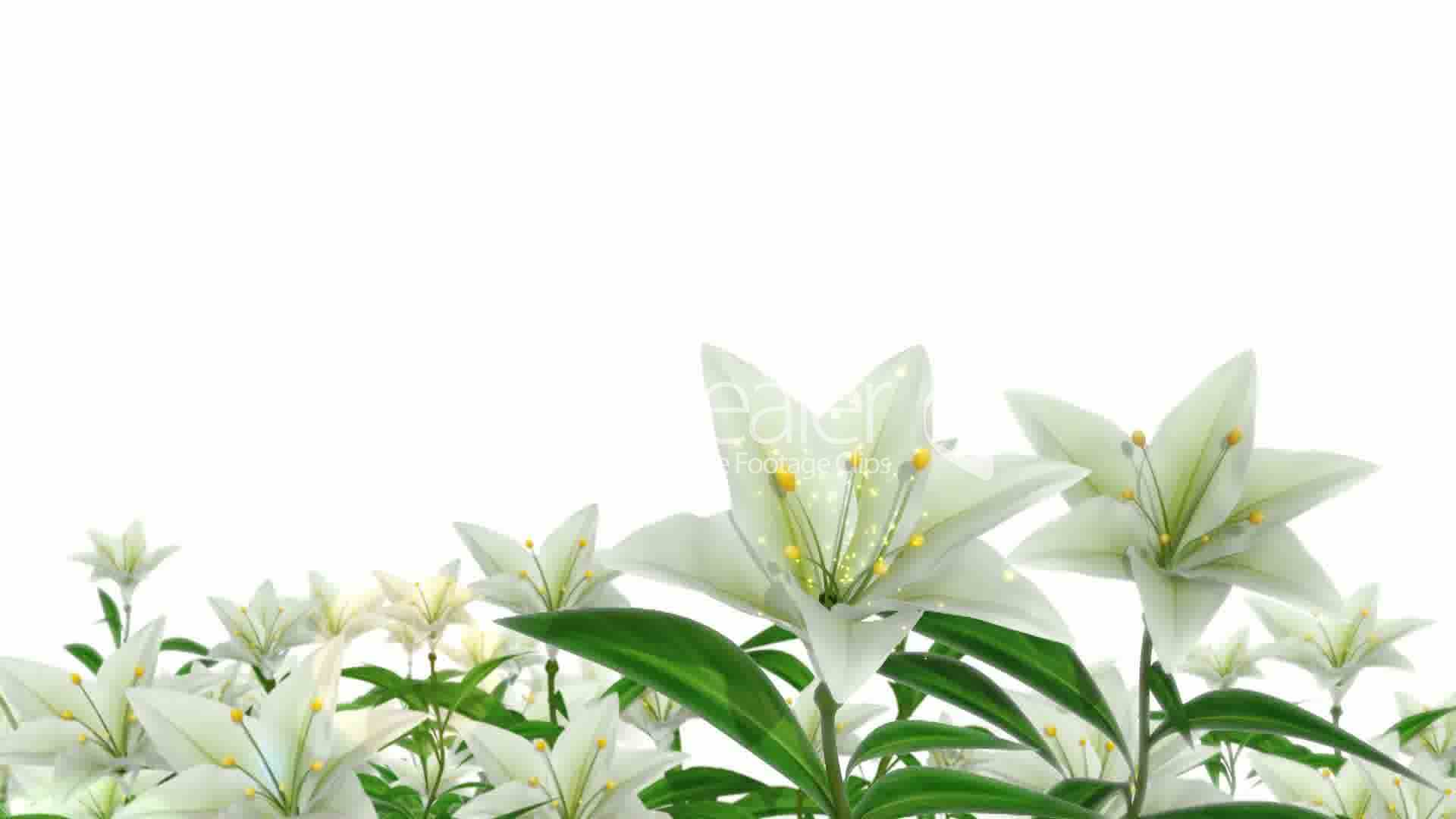 white easter lilies royalty free video and stock footage easter lily clip art border easter lily clip art free