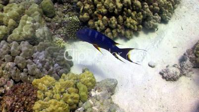 Cоral Gruper fish on coral reef