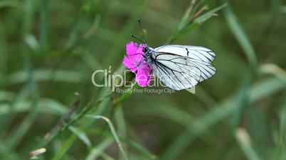 white, striped butterfly