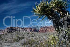 Yucca Tree in desert, Nevada