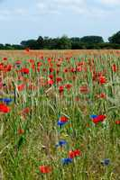 Grain field with poppies
