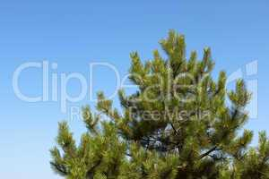 Treetop young pine