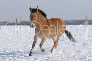 Muli im Schnee