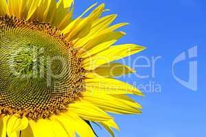 sunflower on background sky