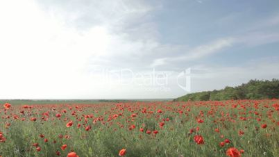 Panorama of the field, strewn with blossoming red poppies