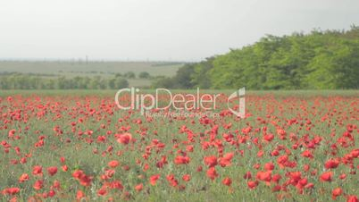 Field of red poppies and rising above far away meadow