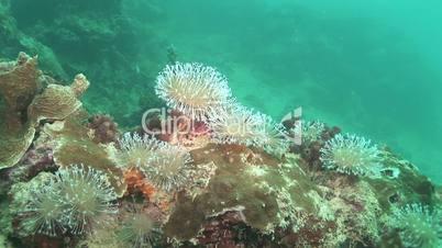 Anemonen und Fische