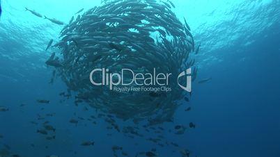 Blauflossen Makrelen, bluefin travelly