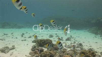 Mondsichel Falterfische