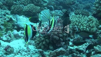 Halfterfisch, Zannclus cornutus