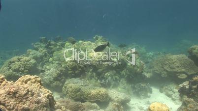 Sträflings-Doktorfisch (Acanthurus triostegus)