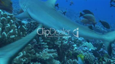 Grauer Riffhai (Carcharhinus amblyrhynchos)