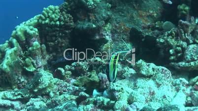 Halfterfisch (Zanclus cornutus)