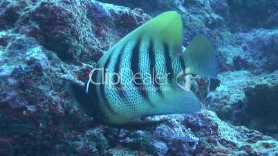 Pfauen-Kaiserfisch (Pygoplites diacanthus)