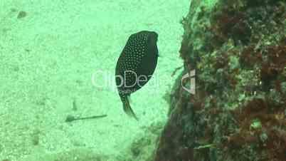 Kofferfische (Ostraciidae), Boxfish