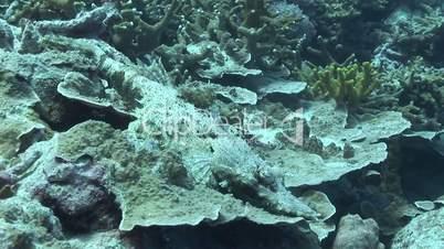 Leistenkrokodil (Crocodylus porosus)