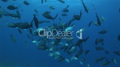 Doktorfische, surgeonfish