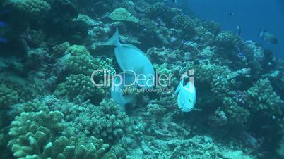 Doktorfisch, surgeonfish